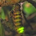 Светляк — светящийся жук