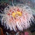 Актинии или морские цветы