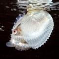 Аргонавт — живущий в ракушке родственник осьминога