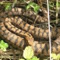 Асписовая гадюка — ядовитая змея, распространенная в Европе