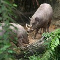 Бабирусса — клыкастая свинья
