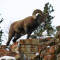 Баран-толсторог — тяжелоголовый баран с огромными рогами
