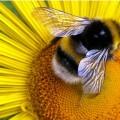 Пчелы - любители сладкого