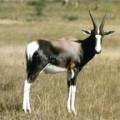 Бонтбок — небольшая грациозная антилопа с прыгающей походкой
