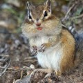 Бурундук — маленький щекастый грызун