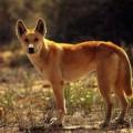 Динго — австралийское млекопитающее без сумки