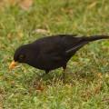Дрозд черный — садовый певец