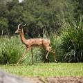 Геренук — неуловимый обитатель кустарниковых зарослей