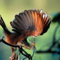 Птица гоацин