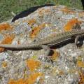 Грузинская ящерица