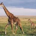 Жираф — ходячий африканский небоскреб