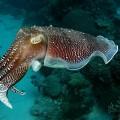 Каракатица — зоркий морской обитатель