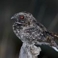 Козодой — птица, которая впадает в спячку