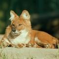 Красный волк — свистящая дикая собака