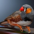 Красноклювый ткачик — птица-саранча