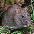 Крыса — грызун, покоривший весь мир