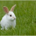 Кролик — гроза полей