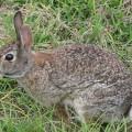 Кролик американский — прекрасный пловец