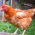 Курица — давний сосед человека