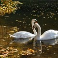 Лебедь — символ верности