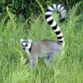 Лемур — мадагаскарский примат