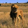 Лев — царь африканской саванны