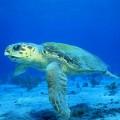 Логгерхед или головастая черепаха