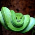 Ложноногие змеи — охотники-душители