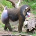 Мандрил — обезьяна с собственным лицом