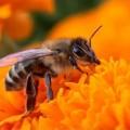 Медоносная пчела — работает, танцуя