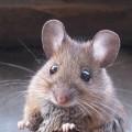 Мышь — плодовитый грызун