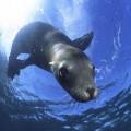 Морской лев — подвижение тюленя