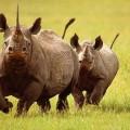 Носорог — рог ценою в жизнь