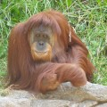 Орангутан — «старый человек на дереве»