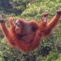 Орангутангу нужна ваша помощь