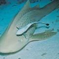 Ремора — прилипчивая рыба