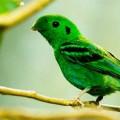 Рогоклювы — птицы с гнездом-качалкой
