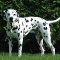 Разрез крестообразных связок у собак