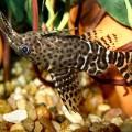 Сомообразные — рыбки, которые ищут добычу усами