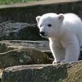 «Отважный» медвежонок