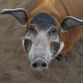 Свинья кистеухая — гроза полей