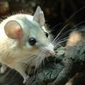 Уход за домашней мышью