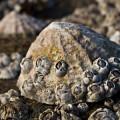 Усоногие — ракообразные на камне