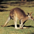 Валлаби — небольшой родственник кенгуру