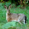 Заяц — скорость во всем