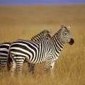 Зебра — удивительная полосатая лошадь