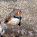 Зебровая амадина — птица, которая пьет на лету