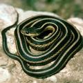 Змея подвязочная — любитель компании