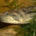 Змея яванская бородавчатая — подводный житель