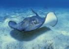 Скат — плоский обитатель морского дна